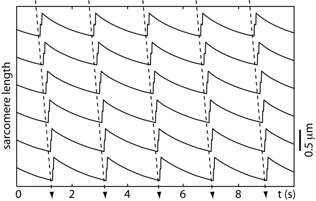 sarcodyn_wave